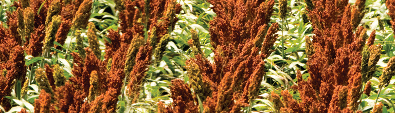 Sorghum Varieties Header
